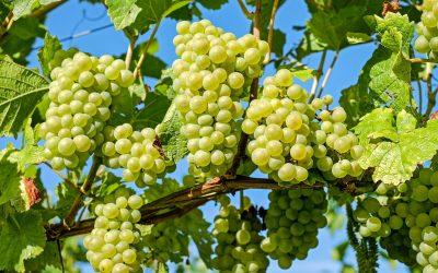Moció en defensa del sector de la vinya